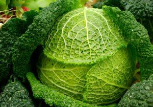 cabbage-541645