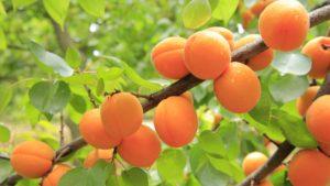 peaches-824626