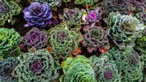 varieties-of-kale-1167557
